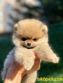 Kaliteli Pomeranian 2