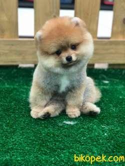 Kaliteli Pomeranian Boo