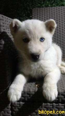 Kar Beyaz Husky Erkek Yavrumuz 1