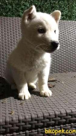 Kar Beyaz Husky Erkek Yavrumuz 2