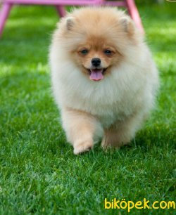 Kar Beyaz Orjinal Pomeranian Boo