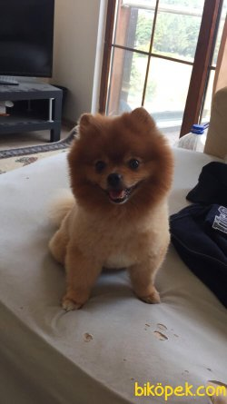 Orjinal Pomeranian Boo