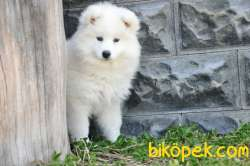Kar Beyaz Samoyed Yavrumuz