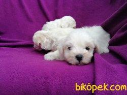 Kar Topu Maltese Terrier Yavruları 5