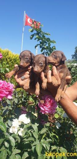 King Doberman Alan Koruma Bodiguard Köpeği Yavrularım