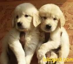 Kıpır Kıpır Safkan Golden Bebekler