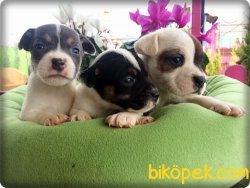 Kısa Abacak Jack Russel Terrier