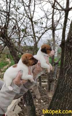 Kısa Bacak Irk Garantili Jack Russell Yavrular