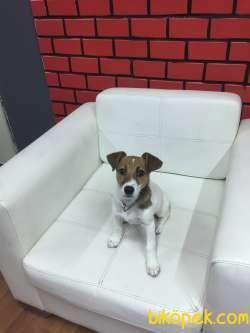 Kısa Bacak Jack Russle Terrier