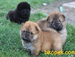 Kızıl Ve Siyah Chow Chow Yavruları 1