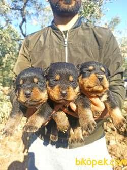 Koca Kafa Irk Garantili Rottweiler Yavrular 2