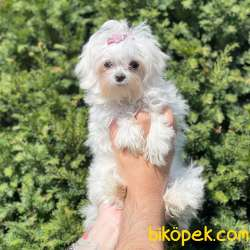 Kore Kan Dişi Maltese Terrier Yavrumuz