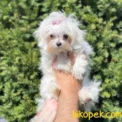 Kore Kan Dişi Maltese Terrier Yavrumuz 2