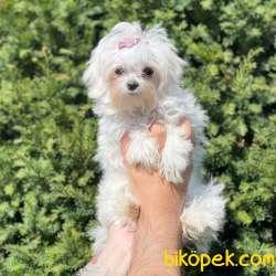 Kore Kan Dişi Maltese Terrier Yavrumuz 4