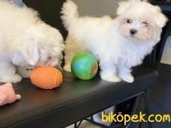 Kore Kanı Tea Cup Maltese Terrier