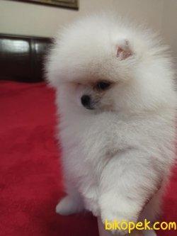 Krem,turuncu ,black Tan Boo Pomeranian Teddy Bear Köpekler