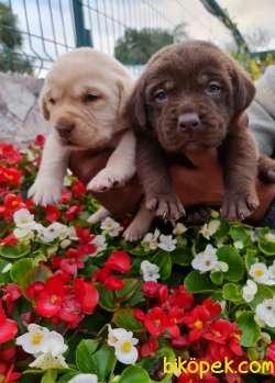 Labrador A Kalite Yavrular Üretim Çiftliği