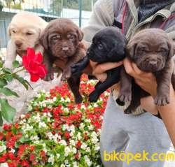 Labrador A Klas Mükemmel Yavrular