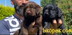 Labrador A Klas Mükemmel Yavrular 4