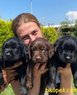 Labrador A Klas Mükemmel Yavrular 5