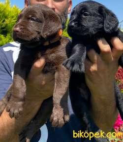 Labrador A Klas Mükemmel Yavrular 3