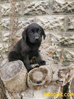 Labrador Bebeklerimiz