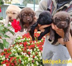 Labrador Redriever Bizden Sorulur Sevimli Yavrular 3