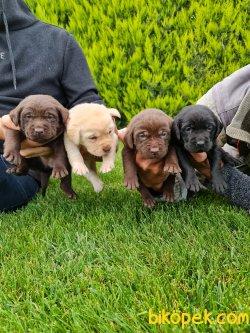 Labrador Redriever Bizden Sorulur Sevimli Yavrular 4