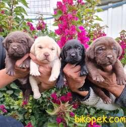 Labrador Redriever Muhteşem Anne Babadan Efsane Yavrular
