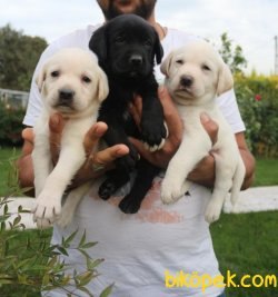 Labrador Retriver Yavrularm 1