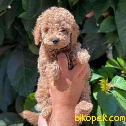 Light Red Dişi Toy Poodle Yavrumuz 3