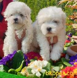Maltese Terrier Çok Şeker Yavrular Üretim Çiftliğinden