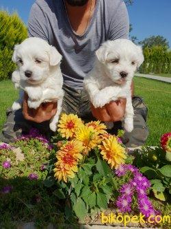Maltese Terrier Çok Sevimli Yavrularım
