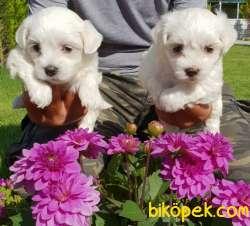 Maltese Terrier Çok Sevimli Yavrularım 2