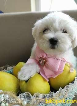 Maltese Terrier Kar Beyaz Yavrularımız