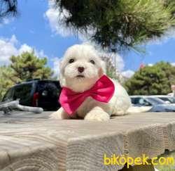 Maltese Terrier Mini Kar Beyaz Yavrular 1