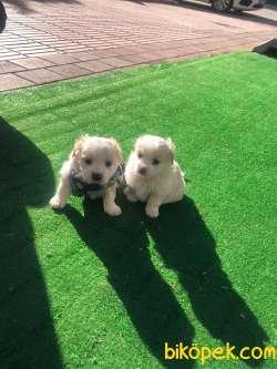 Maltese Terrier Ve Maltipo Yavruları