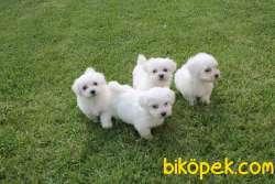 Maltese Terrier Yavruları Kar Beyazı