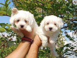 Maltese Terrier Yavrularımız Mükemmeli Arayanlara 3