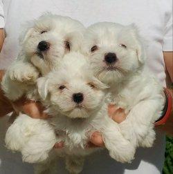 Maltese Terrier Yavrularımız Mükemmeli Arayanlara