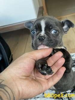 Mavi Gözlü Blu Yavrularımız