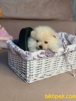 Mini Boy Boo Pomeranian Yavrular 3
