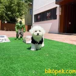 Mini Boy Safkan Belgeli Maltese Terrier Yavrumuz 2