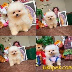 Mini Boy Safkan Birbirinden Güzel Pomeranian Boo Yavrularımız
