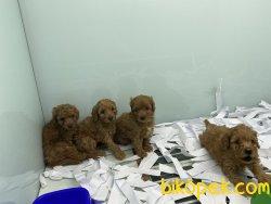 Mini Redbrown Poodle Yavrularımız