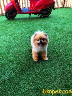 Mini Teacup Pomeranian Boo Erkek