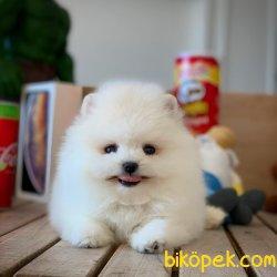 Miniboy Pomeranian Boo Yavrumuz 3