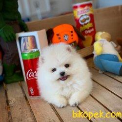 Miniboy Pomeranian Boo Yavrumuz 4