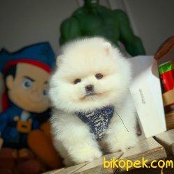 Miniboy Pomeranian Boo Yavrumuz 1