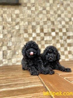 Miniboy Siyah Yavrularımız